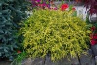 Кипарисовик горохоплодный Филифера Ауреа Нана <br>Кипарисовик горіхоплідний Філіфера Ауреа Нана <br>Chamaecyparis pisifera Filifera Aurea Nana