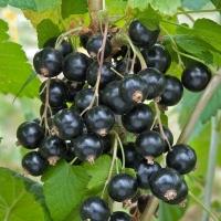 Смородина черная Юбилейная Копаня (средняя) <br>Смородина чорна Ювілейна Копаня (середня) <br>Ribes nigrum Jubilejnaja Kopanja