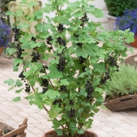 Смородина черная Бен Трон <br>Смородина чорна Бен Трон <br>Ribes nigrum Ben Tron
