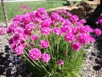 Армерия приморская Розеа (розовая)<br>Армерія приморська Розеа (рожева)<br>Armeria maritima Rosea