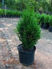 Самшит вечнозелёный 'Арборесценс' / 'Древовидный' <br>Buxus sempervirens 'Arborescens'<br>Самшит вічнозелений 'Арборесценс' / 'Деревовидний'