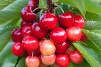 Черешня Аэлита (розовая, средняя)<br>Черешня Аеліта (рожева, середня)<br>Prunus avium Aelita