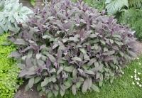 Шалфей лекарственный Пурпуресценс<br>Шавлія лікарська Пурпуресценс<br>Salvia officinalis Purpurascens