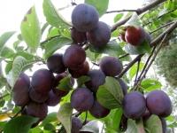 Слива домашняя Кардинал<br>Слива домашня Кардинал<br>Prunus domestica Kardinal
