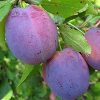 Слива домашняя Исполинская (поздняя)<br>Слива домашня Ісполінська (пізня)<br>Prunus domestica Ispolinskaya (late)