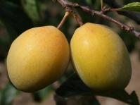 Слива домашняя Золотая Капля (поздняя)<br>Слива домашня Золота Крапля (пізня)<br>Prunus domestica Golden Drop (late)