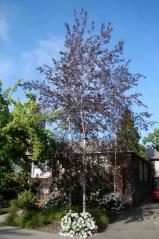Береза повислая Роял Фрост<br>Береза повисла Роял Фрост<br>Betula pendula Royal Frost