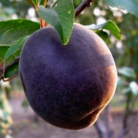Абрикос Чёрный Принц<br>Абрикос Чорний Принц<br>Prunusarmeniaca  Chornyy Prince