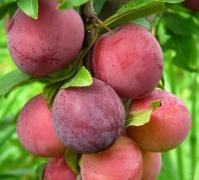 Алыча домашняя крупноплодная<br>Алича домашня великоплідна<br>Prunus cerasifera