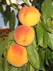 Персик домашний Донецкий жёлтый (средний)<br>Персик домашній Донецький жовтий (середній)<br>Prunus persica Donets`kyy zhovtyy