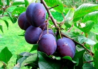 Слива домашняя Кубанская (ранняя)<br>Слива домашня Кубанська (рання)<br>Prunus domestica Kubans`ka