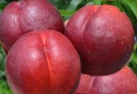 Нектарин Рубиновый-4 (средний)<br>Нектарин Рубіновий-4 (середній)<br>Prunus percica / Nucipersica Rubinoviy-4