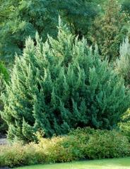 Можжевельник китайский Монарх<br>Ялівець китайський Монарх<br>Juniperus chinensis Monarch