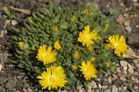 Делосперма Йеллоу Айс Плант<br>Delosperma nubigenum Yellow Ice Plant<br>Делосперма Йеллоу Айс Плант