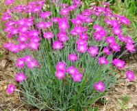 Гвоздика травянка миртинервиус почвопокровная<br>Dianthus deltoides<br>Гвоздика дельтоподібна міртінервіус ґрунтопокривна