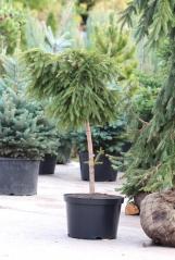 Ель обыкновенная Форманек<br>Ялина звичайна Форманек<br>Picea abies Formanek