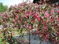 Яблоня гибридная Роял Бьюти / Яблоня плакучая Роял Бьюти<br>Яблуня гібридна Роял Б'юті / Яблуня плакуча Роял Б'юті<br>Malus hybrida Royal Beauty