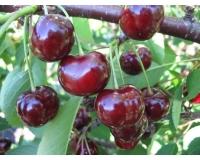 Вишня домашняя Встреча <br>Вишня домашня Зустріч <br>Prunus cerasus Zustrich