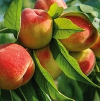 Персик Вайн Голд (средний)<br>Персик Вайн Голд (середній)<br>Prunus persica Vine Gold