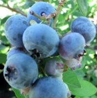 Голубика высокорослая Торо <br>Лохина високоросла Торо <br>Vaccinium corymbosum Toro