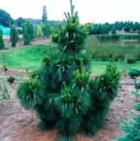 Сосна шверина Витхорст<br>Сосна шверіна Вітхорст<br>Pinus schwerinii Wiethorst