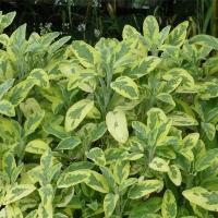 Шалфей лекарственный Вариегата<br>Шавлія лікарська Варієгата<br>Salvia officinalis Variegata