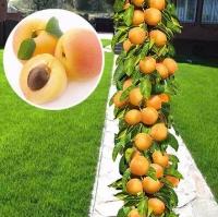 Абрикос колоновидный Принц Март<br>Абрикос колоновидний Принц Март<br>Prunus columnar Prince Mart