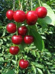 Вишня Любская<br>Вишня Любська<br>Prunus Lyubskaya