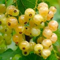 Смородина белая Императорская (желтая)<br>Смородина біла Імператорська (жовта)<br>Ribes white Imperatorska (zhovta)