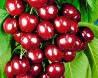 Вишня колоновидная Восхищение<br>Prunus columnar Voskhishcheniye<br>Вишня колоновидна Восхищеніє/Захоплення