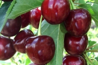 Вишня Тургеневская<br>Prunus Turgenivska<br>Cherry tree Turgenivska<br>Вишня Тургенівська