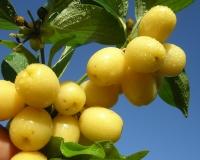 Кизил плодовый Янтарный / Янтарный желтый<br>Cornus mas Yantarnyy<br>Кизил плодовий Бурштиновий/Янтарний жовтий