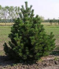 Сосна горная пиренейская<br>Pinus uncinata<br>Сосна гірська піренейська