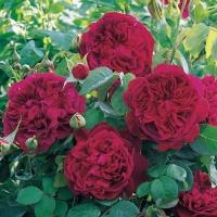 Роза англ. Уильям Шекспир пурпурная<br>Троянда англ. Вільям Шекспір пурпурова<br>English rose William Shakespeare purple
