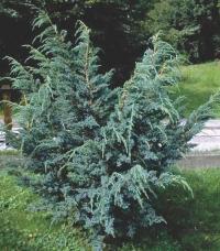 Можжевельник чешуйчатый Мейери <br>Ялівець лускатий Мейері <br>Juniperus squamata Meyeri