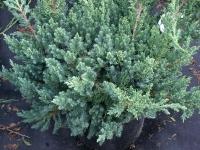 Можжевельник китайский Сан Хосе<br>Juniperus chinensis San Jose<br>Ялівець китайський Сан Хосе