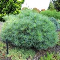 Сосна Веймутова Минима<br>Pinus strobus Minima<br>Сосна Веймутова Мініма