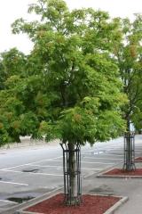 Рябина обыкновенная Додонг<br>Sorbus aucuparia Dodong<br>Горобина звичайна Додонг