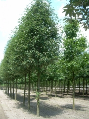 Рябина тюрингская Фастигиата<br>Sorbus thurigiaca Fastigiata<br>Горобина тюрингська Фастігіата