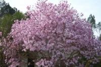 Магнолия звездчатая Розеа<br>Magnolia stellata Rosea