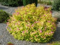 Спирея японская Голдфлейм <br>Спірея японська Голдфлейм <br>Spiraea japonica Goldflame