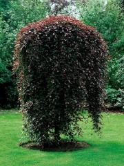 Берёза плакучая Пурпуреа (штамб)<br>Береза плакуча Пурпуреа (штамб)<br>Betula pendula Purpurea