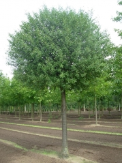 Вишня кустарниковая Умбракулифера (шаровидная) <br> Вишня кущова Умбракуліфера (шароподібна)<br> Prunus cerasus Umbraculifera