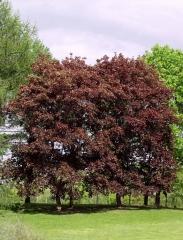 Клён остролистный Фаассенс Блек <br>Клен гостролистий Фаассенс Блек <br>Acer platanoides Faassen's Black