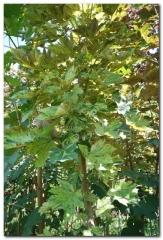 Клен ложноплатановый (Явор белый) 'Низетти' <br>Клен псевдоплатановий (Явір білий) 'Нізетті'<br>Acer pseudoplatanus 'Nizetti'