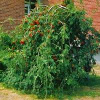 Рябина обыкновенная Плакучая <br>Горобина звичайна плакуча<br>Sorbus aucuparia Pendula