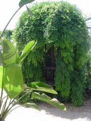 Софора японская плакучая <br>Софора японська плакуча<br>Sophora japonika pendula