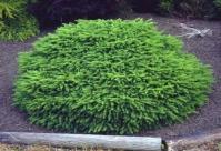 Ель обыкновенная / европейская Нидиформис <br> Ялина звичайна / європейська Нідіформіс<br>Picea abies Nidiformis