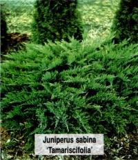 Можжевельник казацкий Тамарисцифолия <br>Ялівець козацький Тамарисцифолія <br>Juniperus sabina Tamariscifolia
