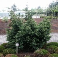 Можжевельник китайский Блю Альпс / Блу Альпс <br>Ялівець китайський Блю Альпс / Блу Альпс <br>Juniperus chinensis Blue Alps